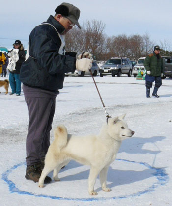 奈々・日の出舎(平成20年冬季本部展覧会 幼犬牝組で優勝時のもの。ハンドラーは吉尾勝明氏)