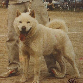 昭和54年春季本部展 本部参考犬 神風・日の出舎