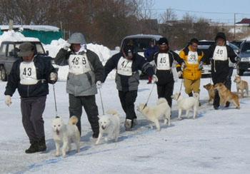 奈々・日の出舎(平成20年冬季本部展覧会 幼犬牝組で優勝時のもの。先頭を歩いている白色犬 ハンドラーは吉尾勝明氏)