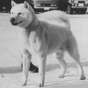昭和54年冬季本部展 本部参考犬 登龍・日の出舎