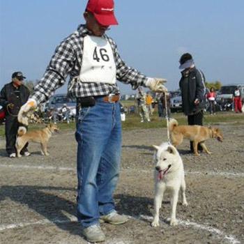 平成20年秋季本部展幼犬牝組で優勝時の北海媛・穂和荘