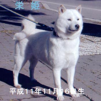 本部参考犬認定の栄姫・十勝高嶋